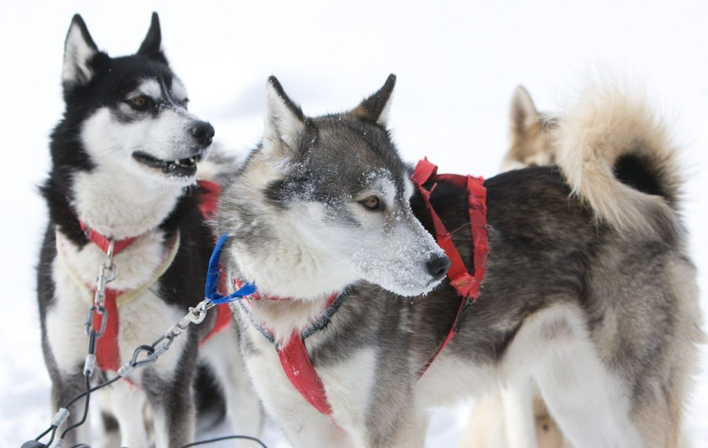 Huskies at the Haliburton Forest & Wild Life Reserve ready to pull a dogsled