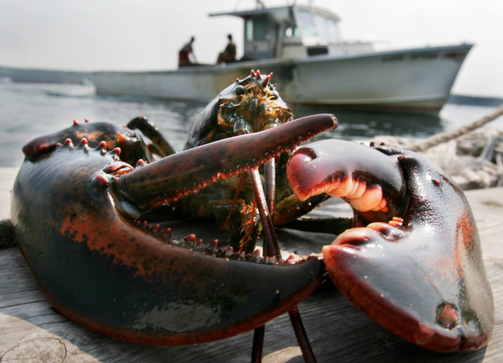 Live lobster on the dock caught for the Fiver Fishermen Restaurant