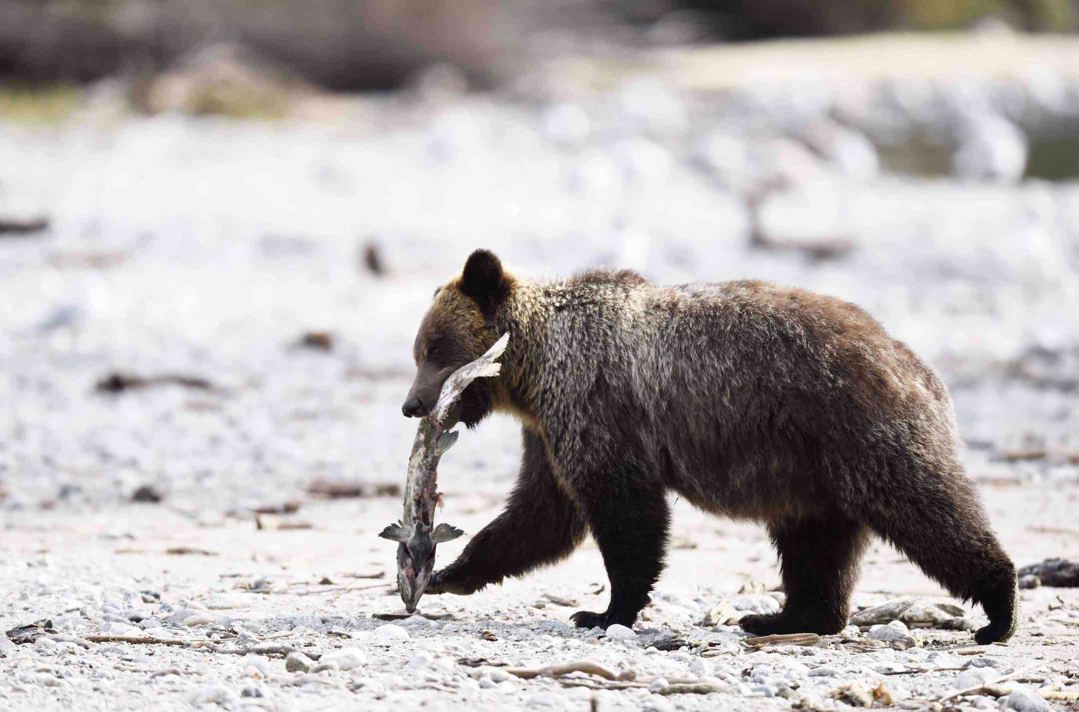 A grizzly bear with salmon seen during a tour from Sonora  resort